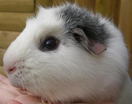 Cute guinea pig names for girls and boys images frompo